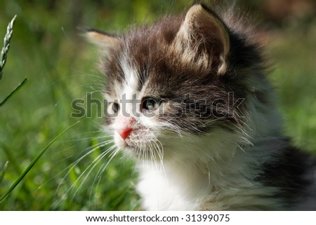 Cute little kitten cat with bushy hair