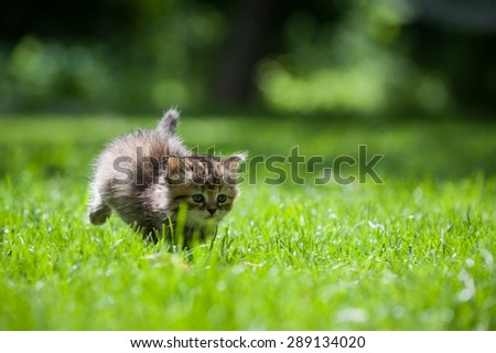 Cute little kitten chasing a toy on a green lawn - stock photo
