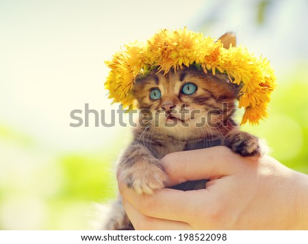 Cute little kitten crowned with a chaplet of dandelion in female hands - stock photo