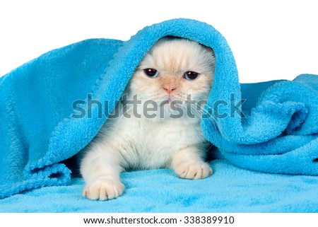 Cute little kitten peeking out from under the soft warm blue blanket - stock photo