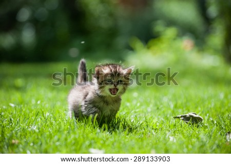Cute little kitten running through the green lawn mewing