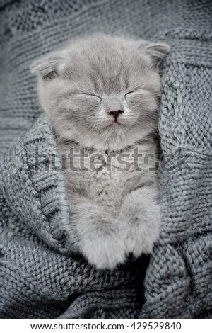 Cute little kitten sleeps on fur gray blanket - stock photo