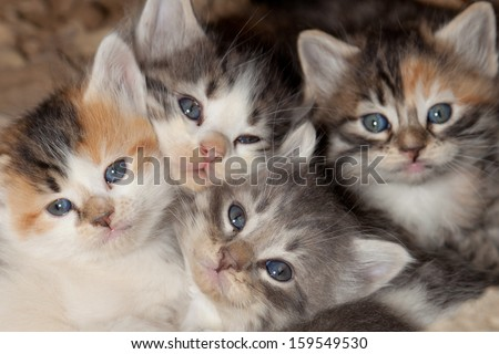 Cute little kittens with blue eyes waking up from a nap and all snuggled together.