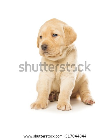 cute little Labrador Retriever puppy isolated over white background