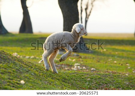 cute little lamb jumping on field - stock photo