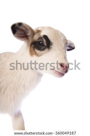 Cute little lamb side view head shot isolated on white background