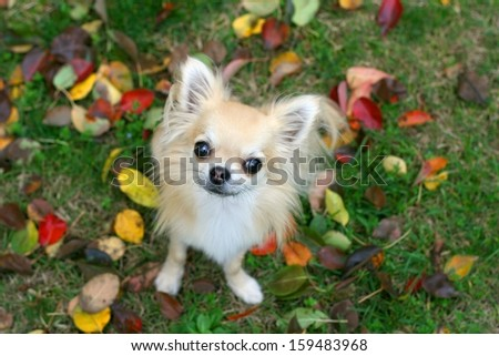 Cute little longhair chihuahua sitting and looking up with puppy eyes at camera, colorful autumn leaves and grass in background - stock photo