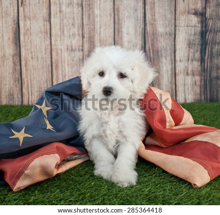Cute little Maltipoo puppy sitting in the grass with an american flag. - stock photo