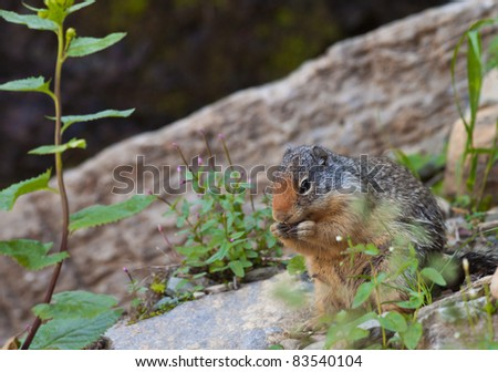cute little marmot mid lunch in Glacier National park