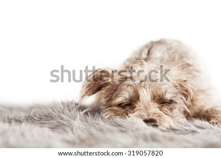 Cute little mixed breed dog laying down on a fur rug with eyes closed and sleeping - stock photo
