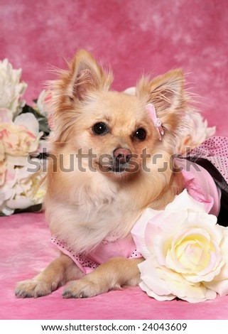 cute little mixed breed dog with rose