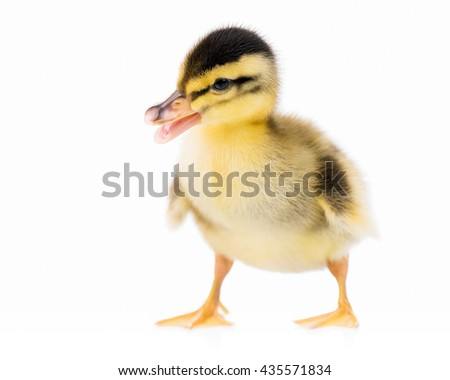 Cute little newborn duckling, isolated on a white background - stock photo