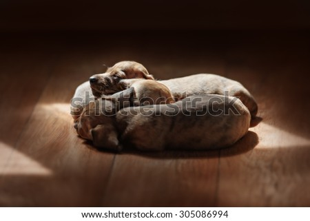 cute little newborn whelps lying together with her mom and sleeping. Image taken isolated on white. The little puppies are two weeks of age. - stock photo