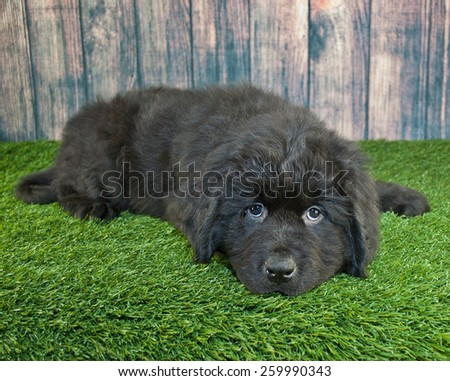 Cute little Newfoundland puppy laying in the grass with a sad look on his face.