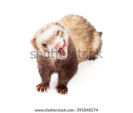 Cute little pet ferret with mouth wide open and tongue out to lick lips - stock photo