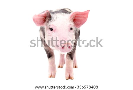 Cute little pig standing isolated on a white background - stock photo