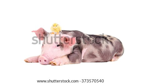 Cute little pig with a chicken on her head lying isolated on white background