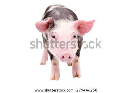 Cute little piglet standing isolated on white background - stock photo