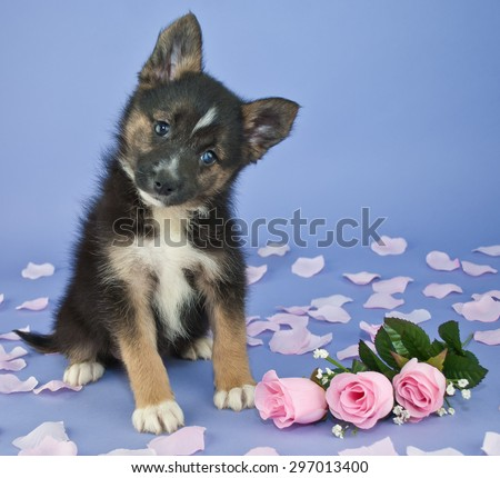 Cute little Pomsky puppy tilting her head, sitting on a purple background with pink roses and rose petals around her. - stock photo