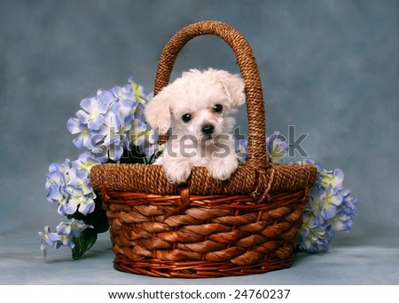 Cute little poodle puppy in a basket with flowers - stock photo