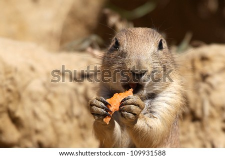 cute little prairie dog eating carrots - stock photo