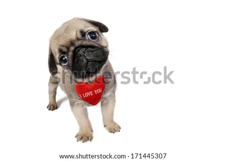 "Cute little Pug puppy with sign ""I Love You"" isolated on white ."