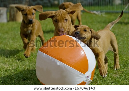 Cute little puppies playing together with a big water ball in garden.