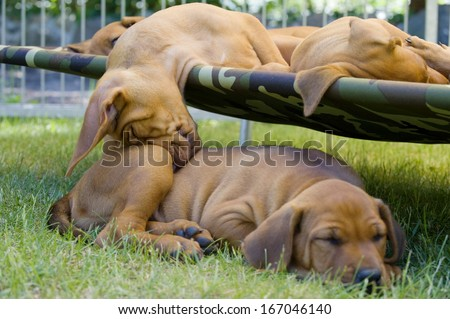 cute little puppies sleeping together outside in garden on a hammock. one of them is sleeping funny on another one. - stock photo