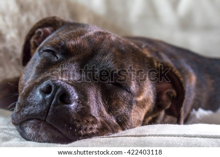 Cute little puppy dog is sleeping on the couch. English Staffordshire bull terrier. - stock photo