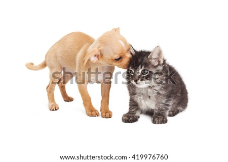 Cute little puppy grooming kitten by licking her ear. Isolated on white.