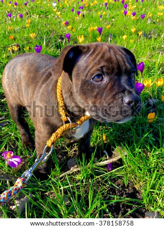 Cute little puppy is standing between some flowers in a field.  - stock photo