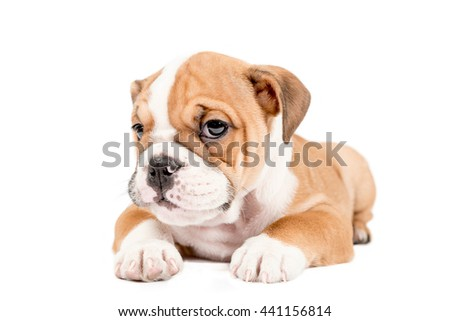 Cute little puppy of English Bulldog isolated on white background - stock photo