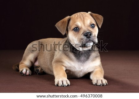 Cute little puppy on a brown background