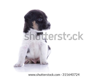 Cute little puppy sitting and looking at copy space, isolated on white background - stock photo