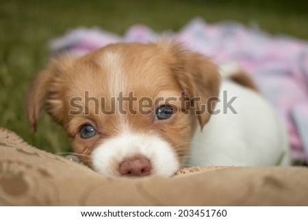cute little puppy with blue eyes lies and Chewing in shoes - stock photo
