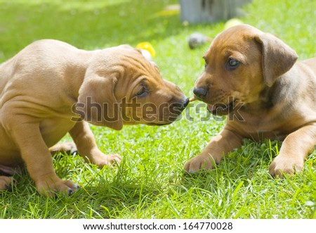 Cute little Rhodesian Ridgeback puppies are playing together in garden. One of them is biting in a treat and the other one wants to have it. The little dogs are four weeks of age.