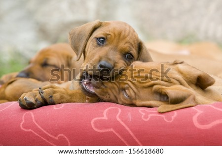 Cute little Rhodesian Ridgeback puppies playing together. There are biting each other in the nose. There are sitting on a small hammock outside in garden.  The little dogs are five weeks of age. - stock photo