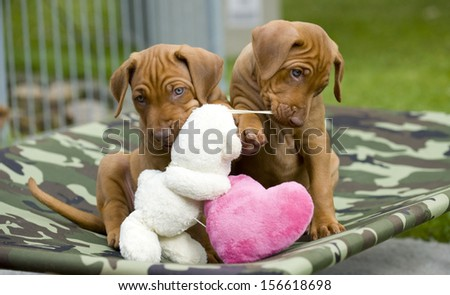 Cute little Rhodesian Ridgeback puppies playing together with a toy. There are sitting on a small hammock outside in garden.  The little dogs are five weeks of age. - stock photo