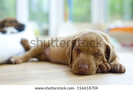 Cute little Rhodesian Ridgeback puppy sleeping on the ground. The little dogs are four weeks of age. - stock photo
