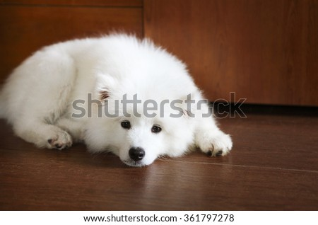 Cute little Samoyed puppy on the floor indoors - stock photo