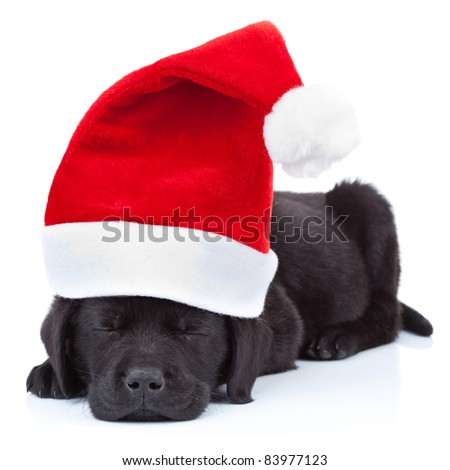 cute little santa - black labrador puppy sleeping on white background