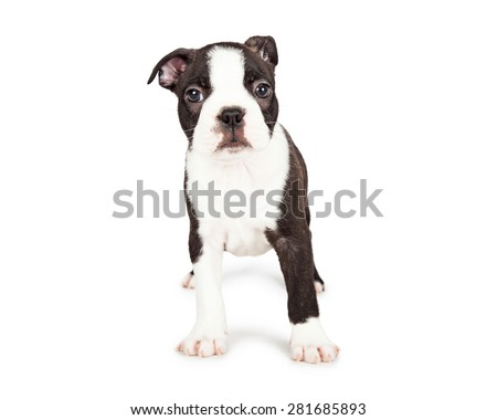Cute little seven week old Boston Terrier puppy with a shy and scared expression. Isolated on white.