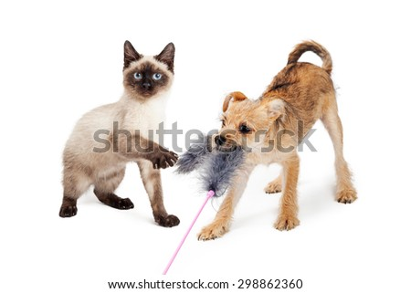 Cute little Siamese kitten and terrier puppy playing together with a feather cat toy - stock photo