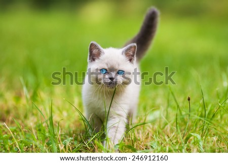 Cute little siamese kitten walking on the grass - stock photo