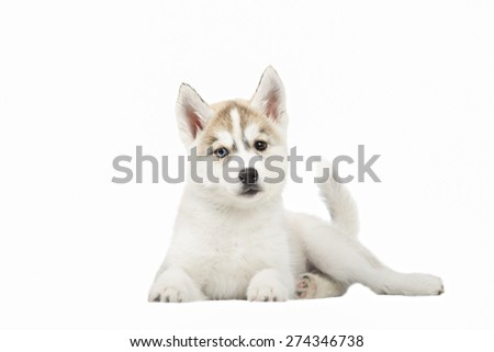 Cute little siberian husky puppy on white background - stock photo