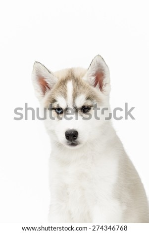 Cute little siberian husky puppy on white background