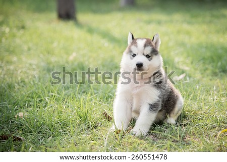 Cute little siberian husky puppy sitting on green grass with copy space on left