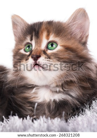 Cute little siberian kitten on a warm knitted scarf over white background - stock photo