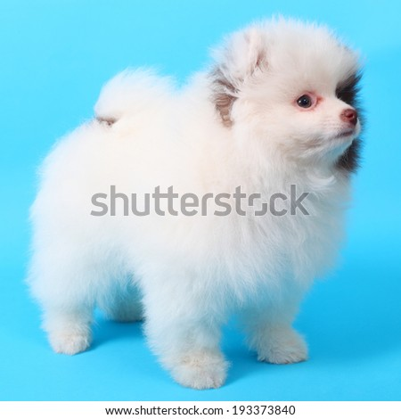 cute little spitz puppy closeup - stock photo