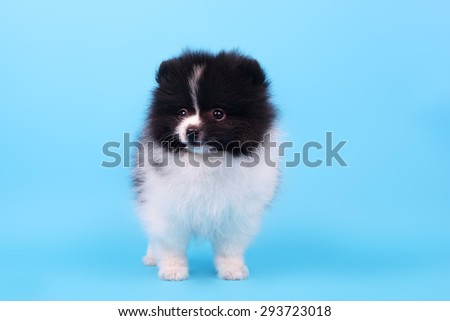 cute little spitz puppy closeup - stock photo